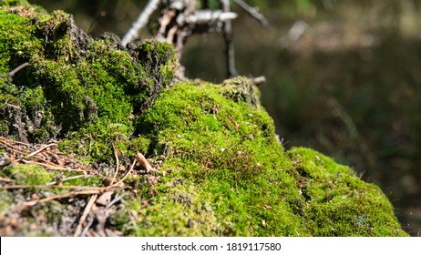sibmbiosis of fungi and trees in nature, development of forest mycelium