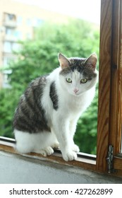 sibrian tom cat sit on the balcony close up photo
