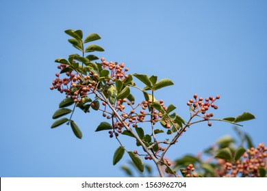 Sichuan pepper is a spice in Chinese cuisine that originates from  Sichuan Province. The plants that produce Sichuan pepper include Zanthoxylum bungeanum tree, which is the same as the picture.