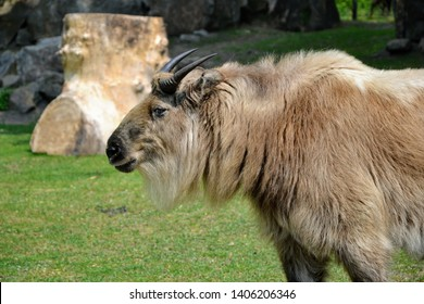 The Sichuan takin ( Budorcas taxicolor tibatana) also called cattle chamois or gnu goat