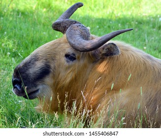 """Sichuan takin or Tibetan takin is a subspecies of takin (goat-antelope). Budorcas from Greek bous (""""ox"""" or """"cow"""") and dorkas (""""gazelle""""); taxicolor from Latin taxus (""""badger"""") and color (""""hue"""")"""