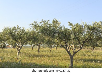 Sicilian olive groves in the spring