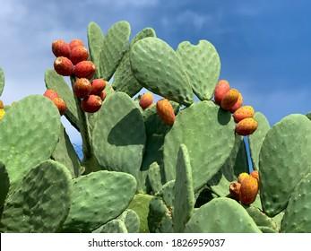 Sizilianische Kaktuspflanze Opuntia mit reifen Kaktusfrüchten von Pflaumen