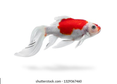 A sick aquarium fish shubunkin with folded fins and tail isolated, fishtank pets desease