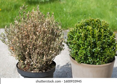 a sick boxwood shrub, destroyed by vermin cydalima perspectalis, stands next to a healthy beautiful boxwood shrub in a planter