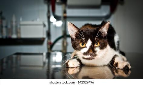 Sick cat at the veterinarian