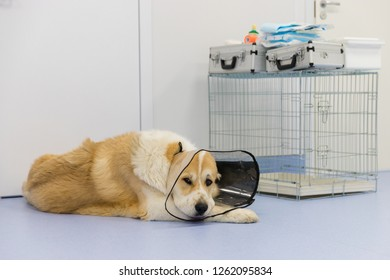 Sick Central asian shepherd dog wearing Elizabethan plastic cone (medical collar) around neck after surgery, lying on the floor in veterinary clinic, sad look into the camera.