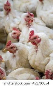 Sick chicken or Sad chicken in farm,Epidemic, bird flu, health problems.