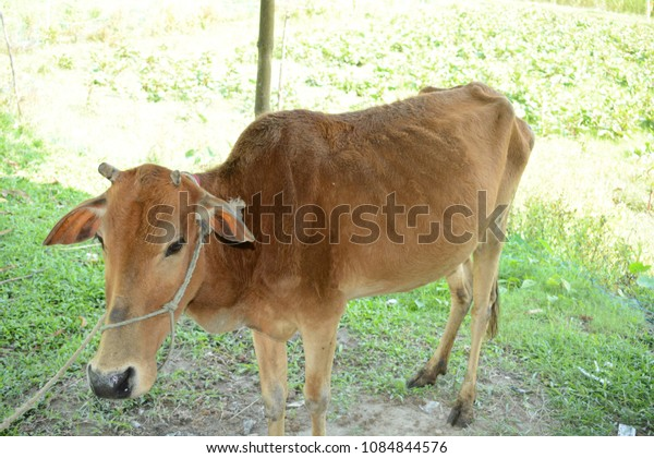 A sick cow standing to take medicine.