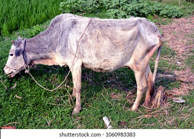 A sick cow trying to eat grass