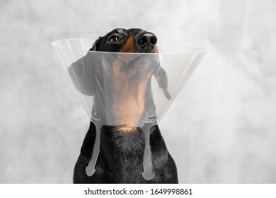 Sick dog dachshund sitting with wearing  vet Elizabethan funnel collar on the floor against the gray wall