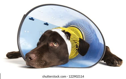 Sick dog with ear injury on white background