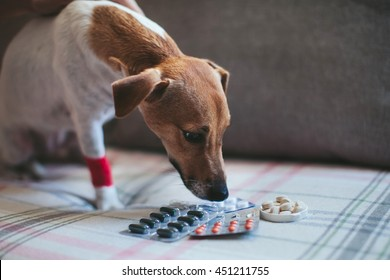 sick dog Jack Russell and tablets