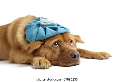 Sick dog  sideways on white background