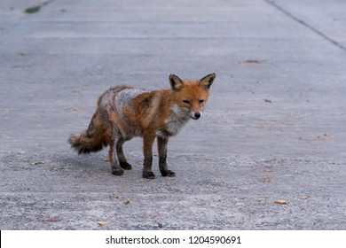 Sick fox , strongly drawn by the mange
