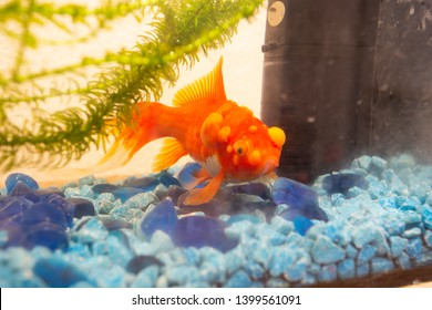 Sick goldfish with bumbs on its scale, fish bowl pet