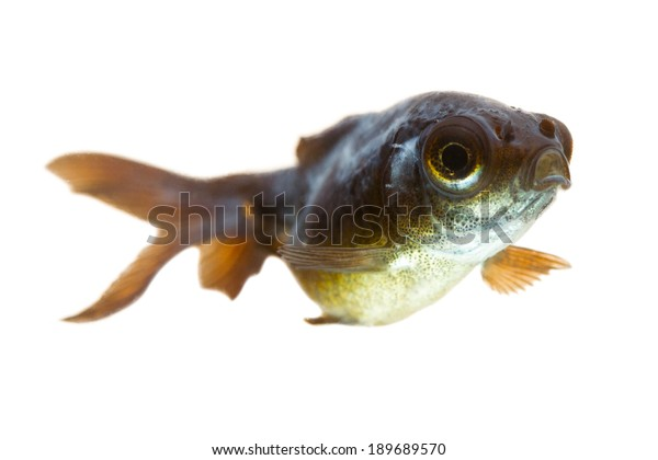 sick goldfish fish ill magnifier goldfish burn you may observe the cotton like mold behind his stare sick goldfish fish colour coloration lovely butterfly animal pet water white roast therapy nature s
