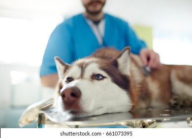 Sick husky dog lying on table in vet clinics