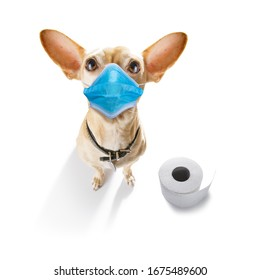 sick and ill chihuahua dog  isolated on white background with  face mask and toilet paper rolls , protecting from virus and bacteria