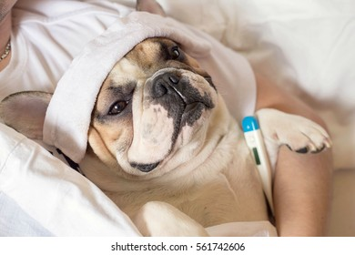 sick ill french bulldog dog with headache in bed resting