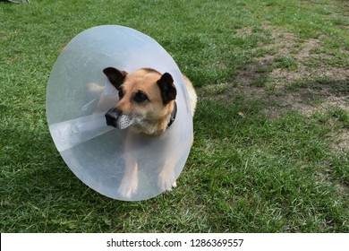 Sick and injured dog wearing an Elizabethan collar, E-Collar, Buster collar or pet cone laying down on the grass.