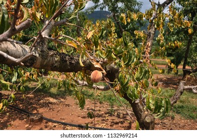 A sick peach tree at a orchard in the Blue Ridge mountain region of Virginia.