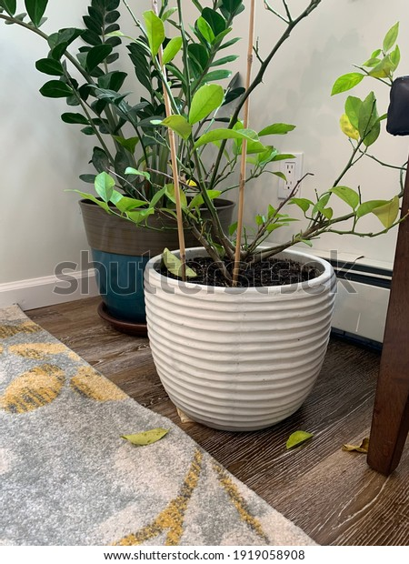 A sick potted lemon tree or Citrus limon with falling leaves and a potted zz plant or Zamioculcas behind it.  It's the corner of a room and part of the natural, contemporary, or modern decorations.