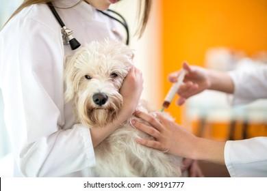 Sick sad Maltese dog receive injection in vet clinic