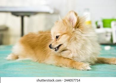 Sick spitz in veterinary clinic