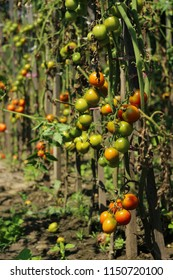 Sick tomatoes in the garden, the vegetables infected with late blight, a blight on the crop