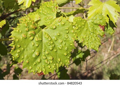 Sick vine leaf with the green foliage as background