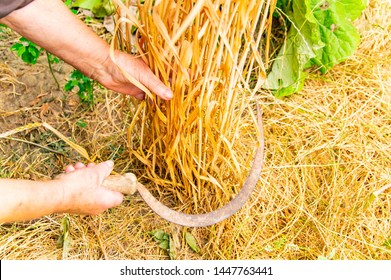 Sickle in hand - harvesting wheat. Place for text. Work tool. Background.