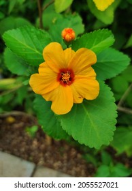 Sida fallax, known as yellow ilima or golden mallow, is a species of herbaceous flowering plant in the Hibiscus family, Malvaceae