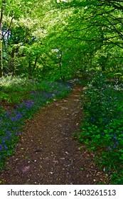 Sidbury, Devon  / England - 5/11/2019: A pretty woodland walk lined with bluebells, follows a pathway through the trees at Putts Corner Caravan & Motorhome Club Site near Sidbury, Devon.