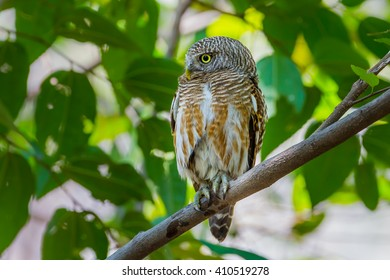 Side close up Asian Barred Owlet (Taenioglaux cuculoides) stair at us in nature of Thailand