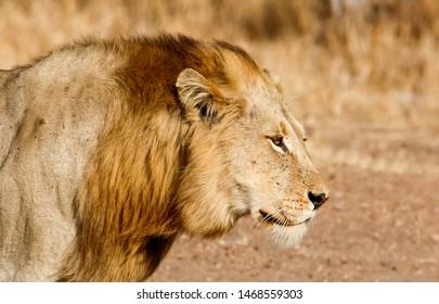 side close up of Male Lion Panthera leo  face walking