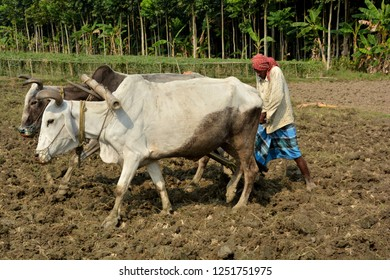 Side close up view of an Indian farmer ploughing,  plowing is land or field using two oxen, bullocks or cow and wooden plow with green background wearing a blue lungi.