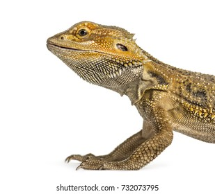Side close-up of a bearded dragon, isolated on white