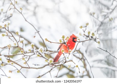 Side closeup of fluffed, puffed up orange, red male cardinal bird, looking, perched on sakura, cherry tree branch, covered in falling snow with buds, heavy snowing, cold snowstorm, storm, Virginia