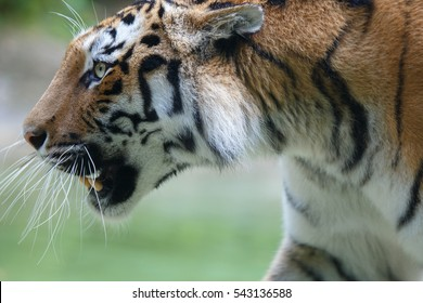 Side closeup view of a siberian tiger or Amur tiger, Panthera tigris altaica.  This tiger once ranged throughout all of Korea, north-eastern China, Russian Far East, and eastern Mongolia