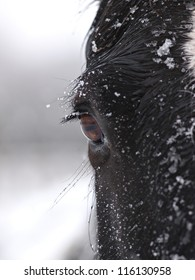 The side of the face of a black horse in the snow.