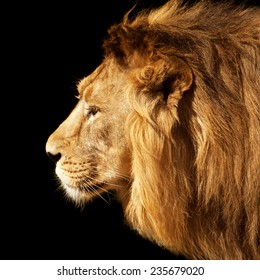 Side face portrait of a beautiful young Asian lion, isolated on black background. King of beasts. Wild beauty of the biggest cat. The most dangerous and mighty predator of the world.
