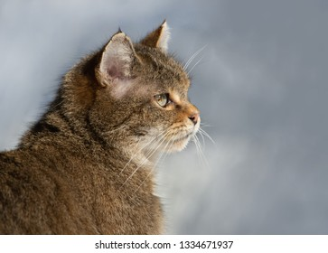 side face portrait of an European Wildcat - National Park Bavaria Forest - Germany