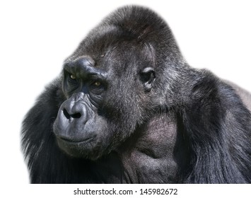Side face portrait of an old gorilla female, isolated on white background.