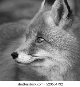Side face portrait of red fox male, vulpes vulpes. The head a beautiful forest wild beast. Smart look of a dodgy vulpes, skilled raptor and elegant animal. Black and white image.
