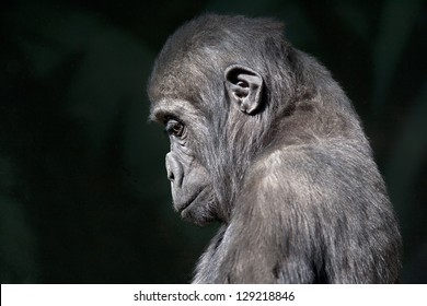 side face portrait of sad young gorilla.