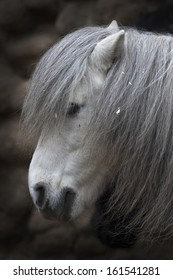 Side face portrait of small gray horse. Cute and cuddly pony with eyes, covered with long foretop. Romantic and coy horse lady with face top under hairy veil.