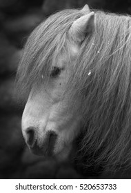 Side face portrait of small gray horse. Cute and cuddly pony with eyes, covered with long foretop. Romantic and coy horse lady with face top under hairy veil. Black and white image.
