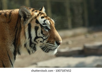 Side face of a Siberian tiger