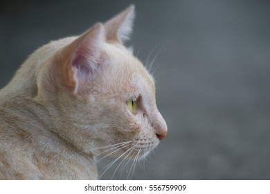 side face of yellow and white cat